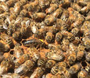 Manitoba Queen Bee