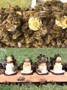 Top photo shows larvae floating on royal jelly after just 24 hours in the starter. The bottom shows progress on 3 of 4 cells in the starter after 24 hours. The bees didn't like second from left and it will be removed.