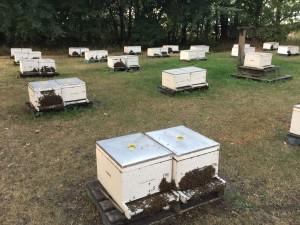 Rob Feeding bees