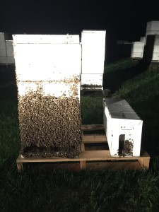 This was a swarm at a new location.