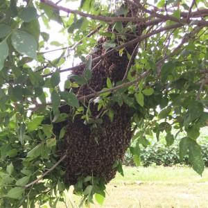 A huge swarm we captured in 2017.