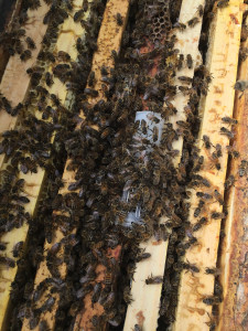 A new queen is added to a nuc split after being queenless for 24 hours.