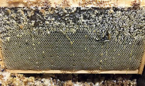 Step 3: Open the Cappings Beeswax is waterproof and bees know it. Bees cap all ripe honey with a beeswax coating and these have to be opened if you want to get the honey out of the comb. The cappings are opened either by hand or a machine called an 'uncapper'.
